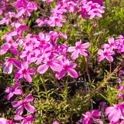 Plamenka šídlovitá 'Red Wings' - Phlox subulata 'Red Wings'