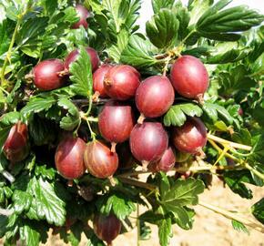 Angrešt červený 'May Duke' - Grossularia uva crispa 'May Duke'