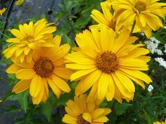 Janeba drsná 'Sommersonne' - Heliopsis helianthoides var. scabra 'Sommersonne'