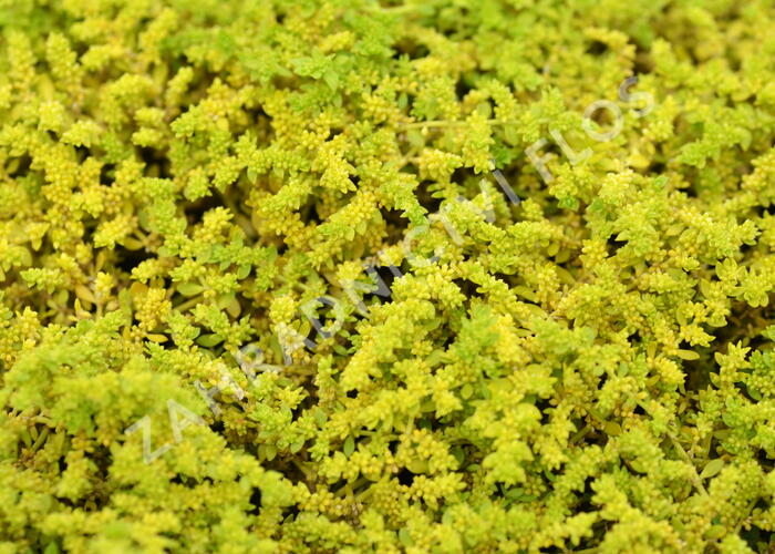 Průtržník lysý - Herniaria glabra