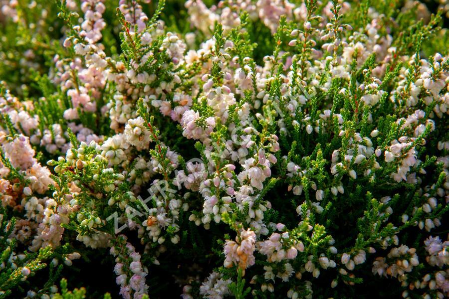 Vřes obecný - Calluna vulgaris