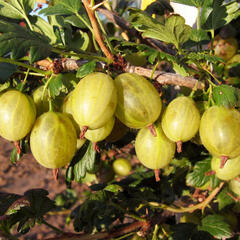 Angrešt žlutý 'Prima' - Grossularia uva crispa 'Prima'