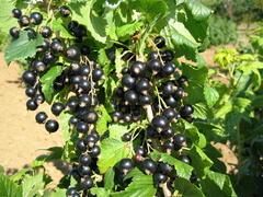 Rybíz černý 'Ceres' - Ribes nigrum 'Ceres'