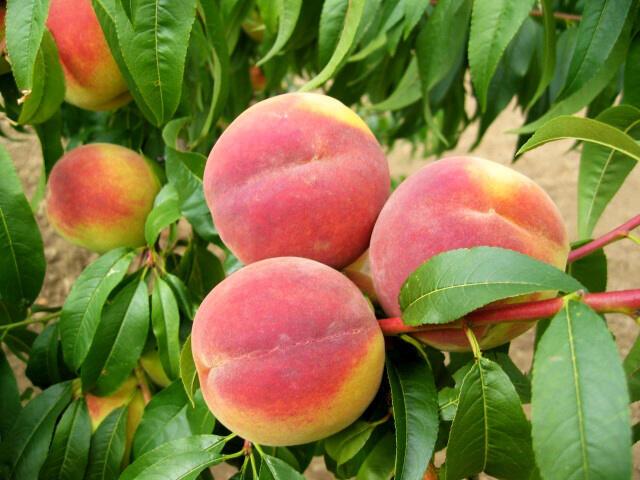 Broskvoň - velmi pozdní 'Cresthaven' - Prunus persica 'Cresthaven'