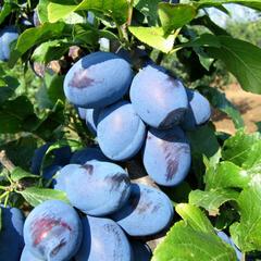 Pološvestka - středně raná 'Čačanská najbolja' - Prunus domestica 'Čačanská najbolja'