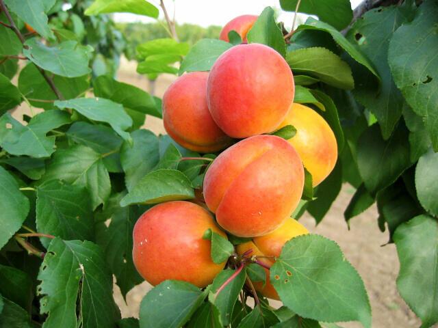 Meruňka - středně raná 'Veecot' - Prunus armeniaca 'Veecot'