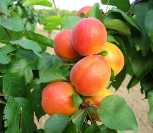 Meruňka středně raná 'Veecot' - Prunus armeniaca 'Veecot'