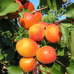 Meruňka raná 'Harcot' - Prunus armeniaca 'Harcot'