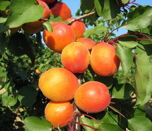 Meruňka - raná 'Harcot' - Prunus armeniaca 'Harcot'