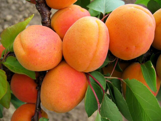 Meruňka - raná 'Goldrich' - Prunus armeniaca 'Goldrich'