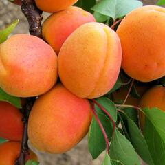 Meruňka raná 'Goldrich' - Prunus armeniaca 'Goldrich'