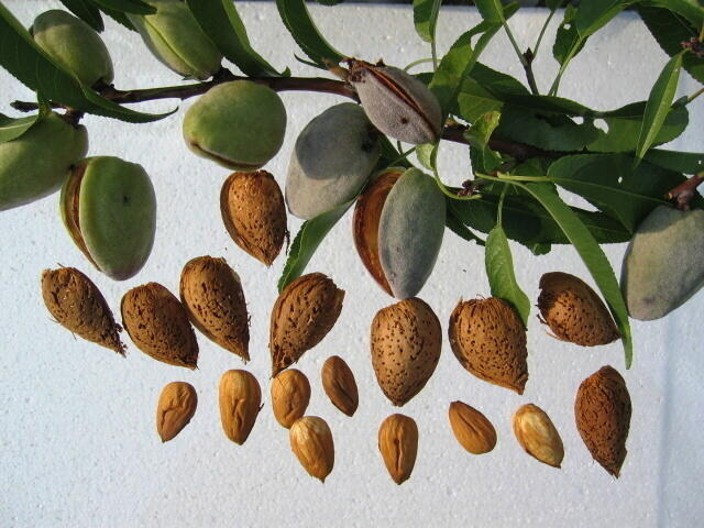 Mandloň obecná 'Krajová sladkoplodá' - Prunus amygdalus 'Krajová sladkoplodá'