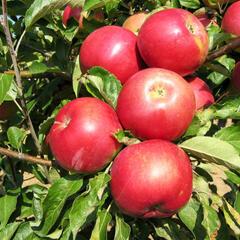 Jabloň zimní 'Idared' - Malus domestica 'Idared'