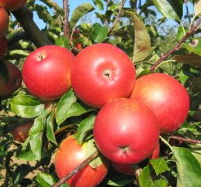 Jabloň letní 'Mantet' - Malus domestica 'Mantet'