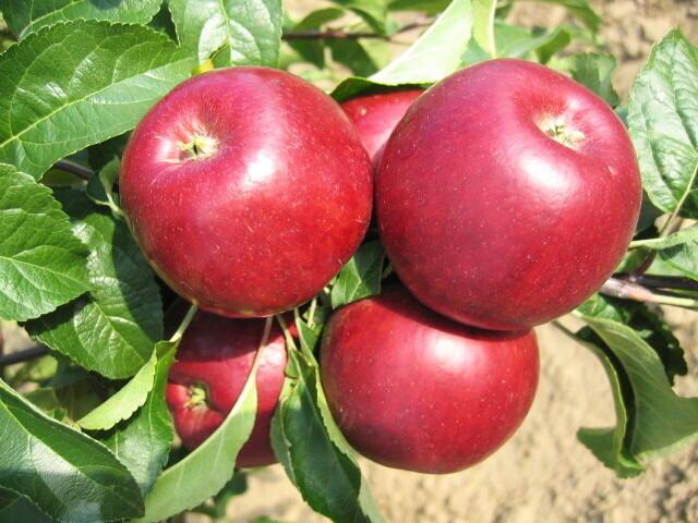 Jabloň letní 'Hana' - Malus domestica 'Hana'