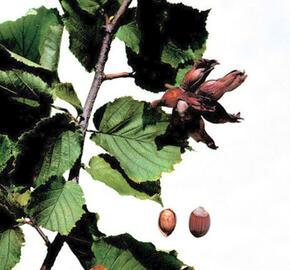 Líska obecná 'Lombardská bílá' - Corylus avellana 'Lombardská bílá'