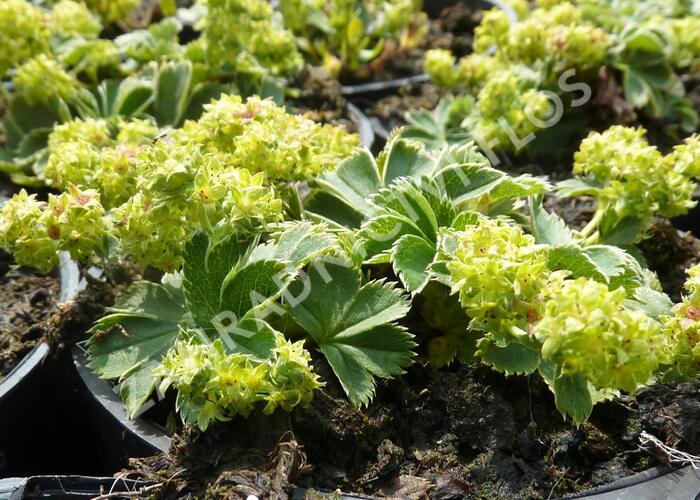 Kontryhel trpasličí - Alchemilla faeroensis var. pumila