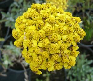 Řebříček plstnatý 'Aurea' - Achillea tomentosa 'Aurea'