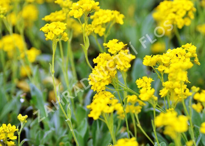 Tařice skalní 'Sulphureum' - Alyssum saxatile 'Sulphureum'