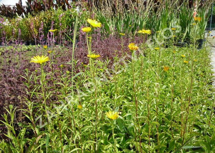 Volské oko vrbolisté 'Alpengold' - Buphthalmum salicifolium 'Alpengold'