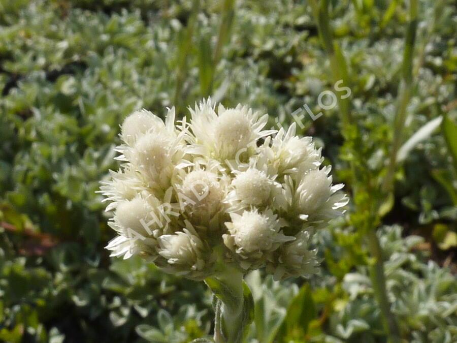 Kociánek dvoudomý - Antennaria dioica borealis