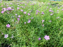 Hvozdík sibiřský - Dianthus amurensis