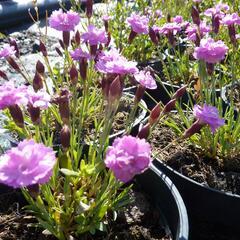 Hvozdík sivý 'Pink Jewel' - Dianthus gratianopolitanus 'Pink Jewel'
