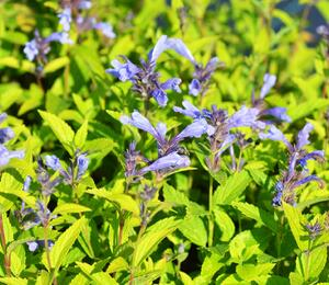 Šanta 'Blue Dreams' - Nepeta subsessilis 'Blue Dreams'