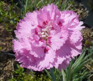 Hvozdík péřitý 'Maggie' - Dianthus plumarius 'Maggie'