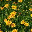 Krásnoočko velkokvěté 'Rising Sun' - Coreopsis grandiflora 'Rising Sun'