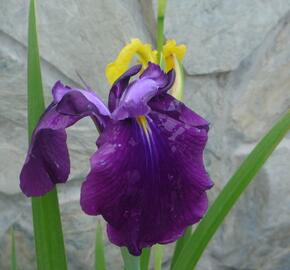 Kosatec mečovitý 'Amethyst' - Iris ensata 'Amethyst'