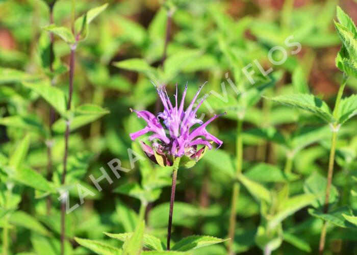 Zavinutka - Monarda menthifolia
