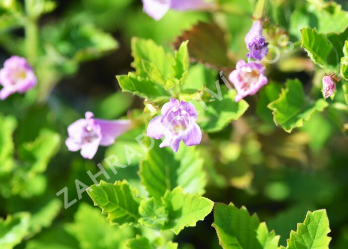 Marulka velkokvětá - Calamintha grandiflora