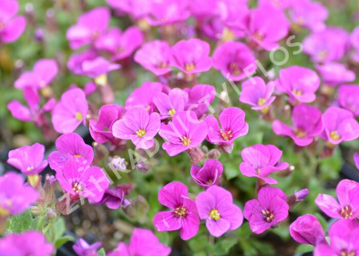 Tařička kosníkovitá 'Axcent Dark Red' - Aubrieta deltoides 'Axcent Dark Red'