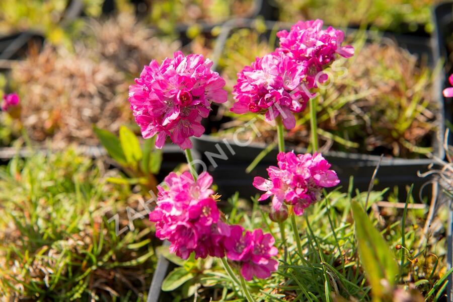 Trávnička přímořská 'Morning Star Rose' - Armeria maritima 'Morning Star Rose'