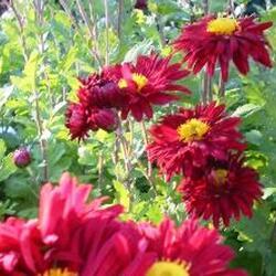Listopadka indická 'Oury' - Dendranthema indicum 'Oury'