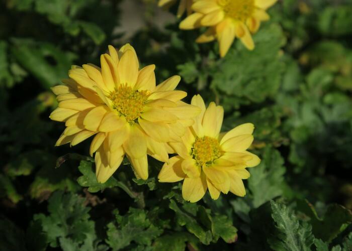 Listopadka indická 'Goldmarianne' - Dendranthema indicum 'Goldmarianne'