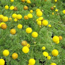 Mechovec srstnatý - Cotula hispida
