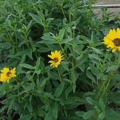 Slunečnice 'Miss Mellish' - Helianthus rigidus 'Miss Mellish'