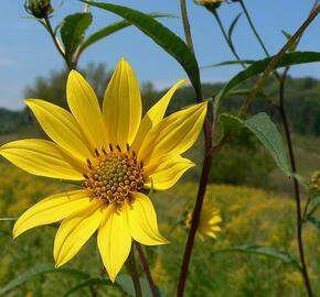 Slunečnice 'Giganteus' - Helianthus atrorubens 'Giganteus'