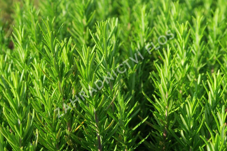 Rozmarýn lékařský 'Abraxas' - Rosmarinus officinalis 'Abraxas'