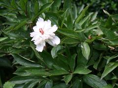 Pivoňka bělokvětá - Paeonia lactiflora