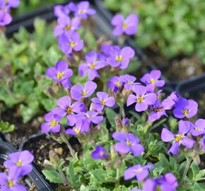 Tařička kosníkovitá 'Blaumeise' - Aubrieta deltoides 'Blaumeise'