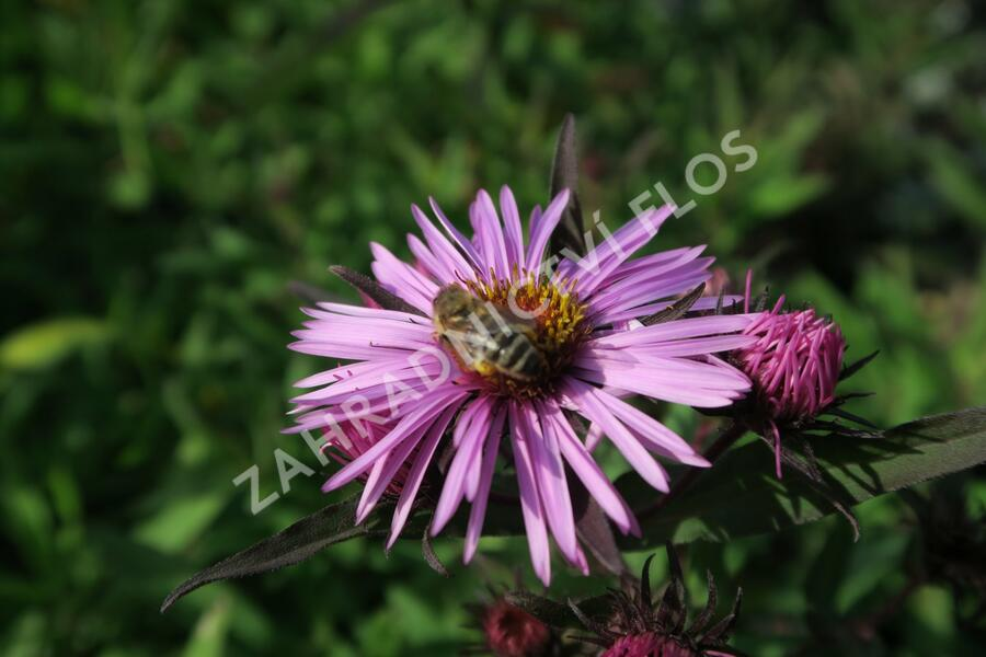Hvězdnice novoanglická 'Barr's Pink' - Aster novae-angliae 'Barr's Pink'