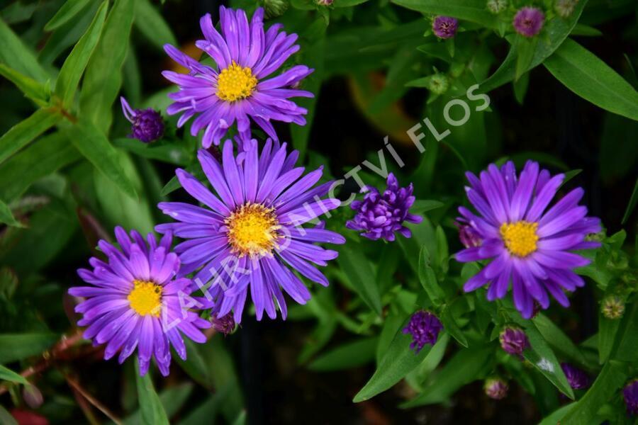 Hvězdnice novoanglická 'Violetta' - Aster novae-angliae 'Violetta'