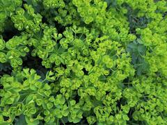 Pryšec myrtovitý - Euphorbia myrsinites