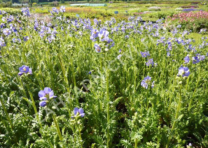 Jirnice modrá 'Azuro' - Polemonium caeruleum 'Azuro'