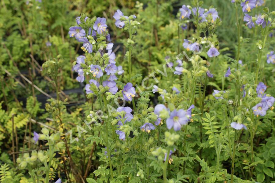 Jirnice 'Azuro' - Polemonium caeruleum 'Azuro'