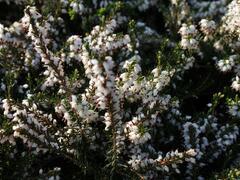 Vřesovec pleťový 'Isabell' - Erica carnea 'Isabell'