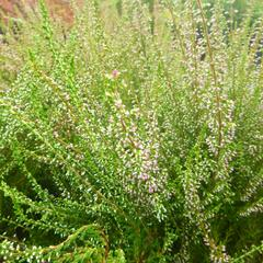 Vřes obecný 'Jette' - Calluna vulgaris 'Jette'